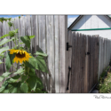 Sunflower (colour photograph)