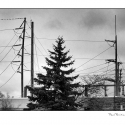 Tree and Power Lines (black and white photograph)