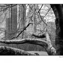 Tree, Central Park (black and white photograph)
